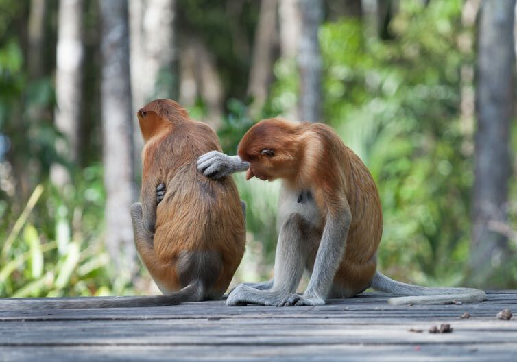 Monkeys grooming